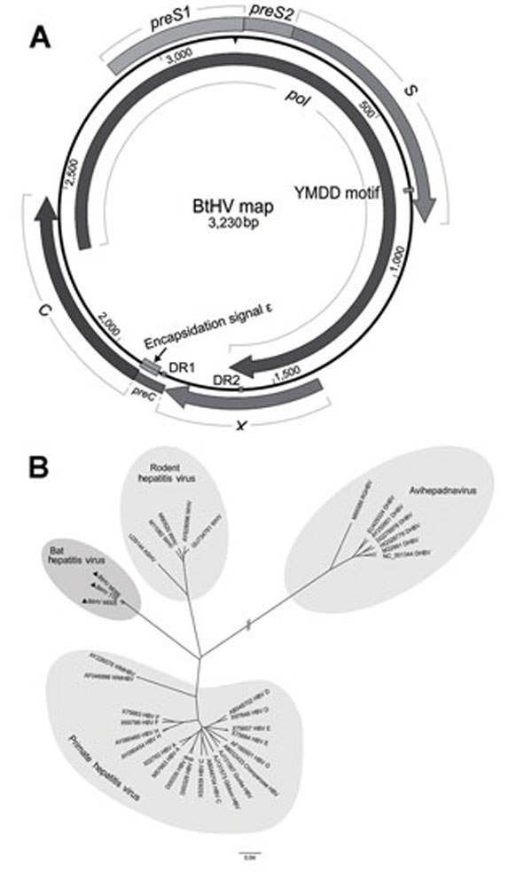 Predicted schematic representation of the bat hepatitis virus (BtHV) genome and its phylogenetic relationship with other hepadnaviruses. A) Genomic structural map of BtHV. Boxes and arrows represent the open reading frames encoding the main proteins: pol gene (2,305–1,636), preS1/S2 and S gene (2,864–833), preC/C gene (1,815–2,468) and X gene (1,378–1,812). Two 12-nt direct repeat sequences (DR1 from 1,825 to 1,836 and DR2 from 1,594 to 1,605), the encapsidation signal ε (1,848–1,903), and YMDD