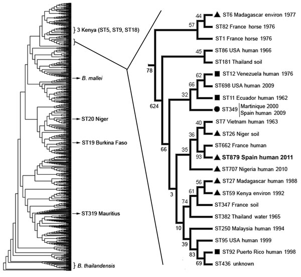 Phylogenetic position of Burkholderia pseudomallei isolate BpSp2, sequence type (ST) 879 (boldface), from a patient in Spain who had traveled to Africa. The dendrogram was built by using 852 isolates from the public B. pseudomallei database (http://bpseudomallei.mlst.net). The clade in which most STs from Africa, South America, and the Caribbean are located has been enlarged; location, source type, and year collected are indicated for each isolate. Black circle indicates isolates from Africa; bl