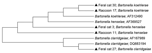 Phylogenetic tree of intergenic spacer region genes of Bartonella species inferred by the neighbor-joining method using the maximum composite likelihood method. Samples from this study are indicated by a solid triangle. GenBank accession numbers are indicated after species name.