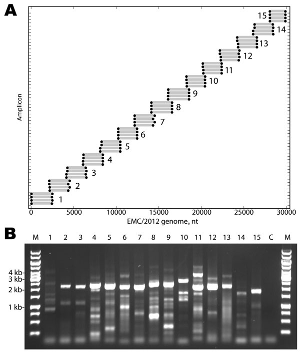 A) Primers designed for reverse transcription and overlapping PCR amplification of the novel coronavirus (CoV). Blue circles indicate the predicted binding site of each primer along the EMC/2012 genome (x-axis). Gray bars indicate predicted amplicon lengths. Amplicon numbers are indicated beside each set of products. B) PCR products (3 µL of a 25-µL reaction) were resolved by electrophoresis on a 0.6% agarose gel and visualized by ethidium bromide staining. Lane M is the molecular weight marker