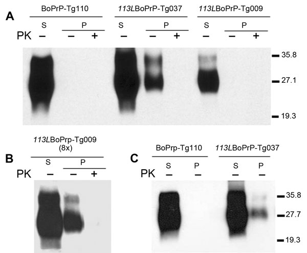Host cellular prion protein (PrPC) solubility and proteinase K (PK) resistance studies in homozygous 113LBoPrP-Tg037, 113LBoPrP-Tg009, and control BoPrP-Tg110 mice. Western blot analysis with monoclonal antibody 2A11 of soluble (S) and insoluble (P) fractions obtained from mouse brain extracts (5% sarkosyl in phosphate-buffered saline, pH 7.4, previously cleared by centrifugation at 2,000 × g) after ultracentrifugation at 100,000 × g for 1 h. P fractions were treated with 5 μg/mL of PK (PK+) at