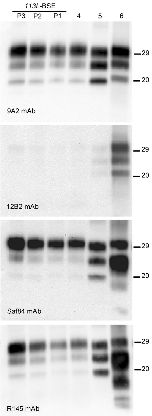 Comparative Western blot analyses of brain prion protein resistant to proteinase K digestion (PrPres) from BoPrP-Tg110 mice infected with bovine spongiform encephalopathy (BSE)-C, 113L-BSE, BSE-L, and BSE-H prions. Mice infected with newly generated 113L-BSE prion at first (P1), second (P2), and third (P3) passages are compared with mice infected with BSE-C (P1) (lane 4); BSE-L (P1) (lane 5); and BSE-H (P1) (lane 6) prions. Each panel was identified by using the monoclonal antibody (mAb) listed