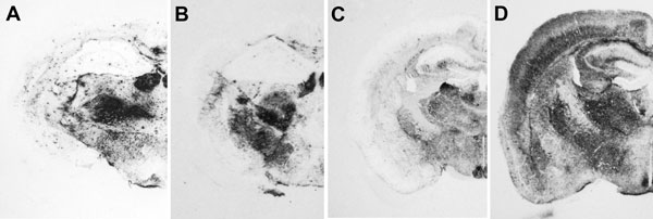 Immunochemical analysis of paraffin-embedded tissue blots of representative coronal sections of the hippocampus, showing deposition patterns of abnormal isoform of host-encoded prion protein in brains from BoPrP-Tg110 mice infected with bovine spongiform encephalopathy (BSE)-C (A), 113L-BSE (B), BSE-H (C), and BSE-L (D) prions. BoPrP, bovine prion protein; 113L, leucine substitution at codon 113. Monoclonal antibody Sha31 stained by using the procedure of Andréoletti et al. (29). Original magnif