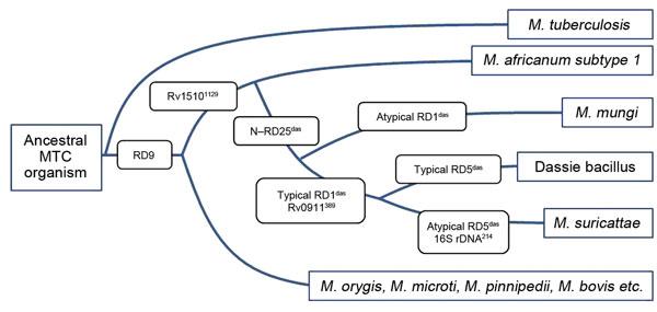 Phylogeny of the Mycobacterium tuberculosis complex (MTC) detailing relevant genetic regions of difference (RDs) and single-nucleotide differences that distinguish between M. africanum subtype 1 and the small African mammal–adapted members of these strains.