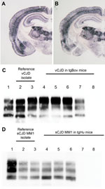 Thumbnail of Abnormal prion protein (PrPres) detection by using Western blot (WB) and paraffin-embedded tissue (PET) blot in the brain of transgenic mice expressing the methionine 129 variant of the human prion protein (PrP) (tgHu) or bovine PrP (tgBov). A, B) PET blot PrPres distribution in coronal section (thalamus level) of tgHu mice inoculated with sporadic Creutzfeldt-Jakob disease (sCJD) MM1 isolates (10% brain homogenate): A) reference isolate used for the endpoint titration in Table 1; B