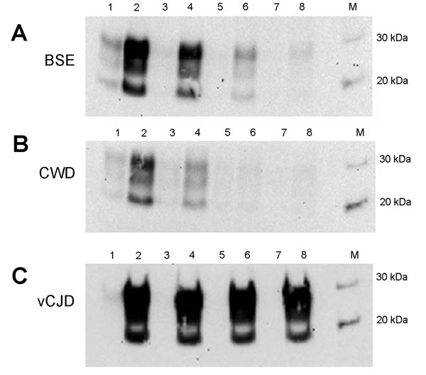 Properties of C-BSE, CWD, and vCJD amplification products in a second round of PMCA. Hu-C-BSE, hu-vCJD, and hu-CWD (from a previous round of PMCA) were supplemented with fresh human brain homogenate and subjected to a second round of PMCA. The reactions were normalized by PrPres level and the product diluted (1:3, 1:6, 1:12, 1:24) in fresh human brain homogenate (PRNP codon 129MM) before PMCA. Odd numbers correspond to samples without PMCA; even numbers correspond to the reactions after PMCA (A,