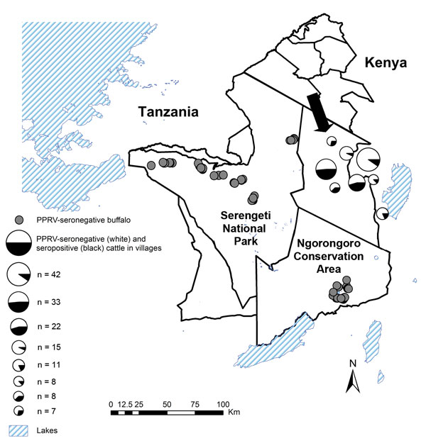 Areas in northwestern Tanzania where seroprevalence of antibodies to peste des petits ruminants virus (PPRV) was studied in cattle and buffalo. Cattle were sampled in 2011; all had been alive during a 2008 PPRV outbreak among small ruminants. Arrow shows location of 1 village affected during the 2008 outbreak (7). Buffalo were sampled during 2010–2012 in Serengeti National Park and Ngorongoro Conservation Area; the locations of PPRV-seronegative buffalo are shown.