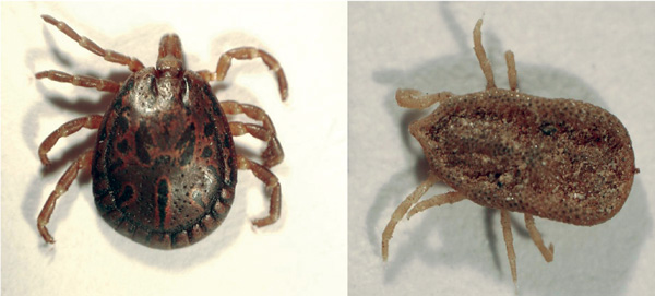 Amblyomma loculosum (left) and Carios capensis (right) ticks from seabird colonies on western Indian Ocean islands.