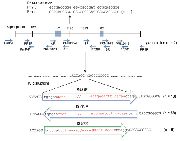 Variations in protactin (prn) gene of prn-negative Bordetella pertussis isolates, Australia, 2008–2012, Ninety-six B. pertussis isolates were identified as prn negative. Eighty of these isolates had 1 of 4 mechanisms of prn disruption: IS481 (in forward and reverse directions) and IS1002, which were inserted at the ACTAGG motif within prn, or an extended homopolymeric tract of G residues (n = 1). Lower case letters indicate residues that are conserved in all IS disruptions, and red letters indic