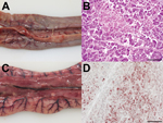 Thumbnail of Pathomorphologic results for 2 dead turkeys infected with influenza A(H5N8) virus, Germany. A, C) Gross pathology showing acute, focally extensive to diffuse pancreatic necrosis with fibrinous serositis. B, D) Hematoxylin and eosin staining showing  acute coagulative necrosis of the pancreas and multifocal staining within the exocrine pancreatic acini for influenza A virus nucleocapsid protein. Scale bars indicate 50 µm (B) and 100 µm (D).