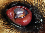 Thumbnail of Right eye of a dog with Onchocerca lupi infection, southern California, USA, 2012. The dog had severe conjunctival inflammation, corneal degeneration, and an elevated intraocular pressure of 31 mm Hg. Ultimately, enucleation was performed, and histology revealed Onchocerca adult worms.