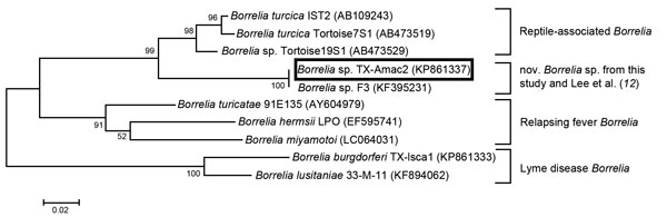 Maximum-likelihood tree showing that the novel Borrelia sp. identified in Amblyomma maculatum ticks from Texas in this study (box, ) and from Mississippi (12) shares a closer phylogenetic relationship to B. turcica than to to other Borreliae groups. Analysis is based on flaB sequences (267 bp). GenBank accession numbers are shown in parentheses. Tree was constructed using the Tamura 3-parameter model with a bootstrap value of 1,000 replicates. Scale bar indicates substitutions per nucleotide pos