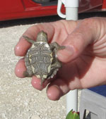 Thumbnail of Small turtle with a shell length of <4 in (<10.16 cm). Photo credit: Casey Barton Behravesh.