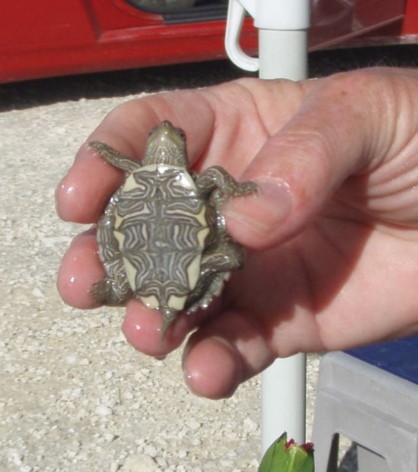 Small turtle with a shell length of <4 in (<10.16 cm). Photo credit: Casey Barton Behravesh.