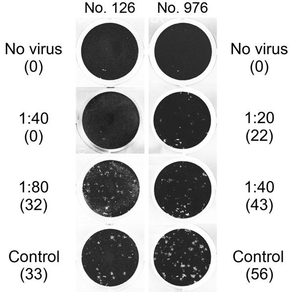 Middle East respiratory syndrome coronavirus (MERS-CoV) plaque-reduction neutralization test (PRNT) results for 2 serum samples positive by recombinant ELISA, showing virus neutralization activity against MERS-CoV strain EMC/2012 exceeding a titer of 1:10. Titers and number of plaques (in parenthesis) are shown next to the corresponding images. Sample no. 976 showed >50% plaque reduction up to a titer of 1:20, and sample no. 126 showed >90% plaque reduction up to a titer of 1:40. No serum