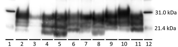 Western blot characterization of the inocula used to inoculate reindeer and brainstem samples from representative reindeer from each experimental group in study of chronic wasting disease transmission. Scrapie prion protein (PrPSc) immunodetection using the monoclonal antibody 6H4. Positive Western blot results demonstrate a 3-band pattern (diglycosylated, highest; monoglycosylated, middle; and nonglycosylated, lowest) that is characteristic of prion diseases. Lanes: 1, biotinylated protein mark