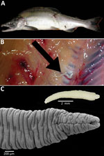 Thumbnail of A) Pink salmon (Oncorhynchus gorbuscha) from Alaska, USA. B) Plerocercoid of Japanese broad tapeworm (Diphyllobothrium nihonkaiense) (arrow) deep in the muscles of the salmon. C) Live D. nihonka plerocercoid in saline (inset) and scanning electron micrograph after fixation with hot water; note the scolex with a long, slit-like bothrium opened anteriorly.