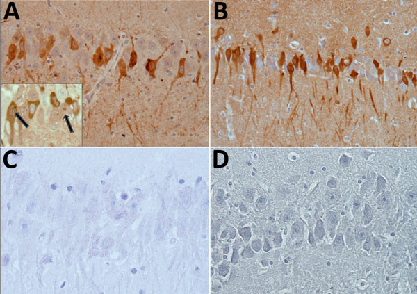 Immunohistochemical testing of detection of bornavirus X protein (A) and phosphoprotein (B) in hippocampal neurons of a brain of a Prevost's squirrel (Callosciurus prevostii) collected in Germany in 2015. Viral antigen is shown in nuclei or cytoplasm and processes. Insert shows intranuclear dot (inclusion body) in cells with and without cytoplasmic immunostaining. No staining was observed for bornavirus X protein (C) or phosphoprotein (D) in a bornavirus-negative variegated squirrel.