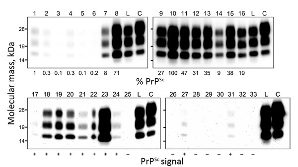 Western blot analysis of proteinase K–resistant disease-associated prion protein (PrPSc) in tissue samples obtained from a cow at 88 months after oral inoculation with brain homogenate of L-type bovine spongiform encephalopathy (BSE) agent. The tissues tested are shown by lane: 1, olfactory bulb; 2, frontal cortex; 3, piriform cortex; 4, parietal cortex; 5, occipital cortex; 6, hippocampus; 7, putamen; 8, thalamus; 9, hypothalamus; 10, midbrain (superior colliculus); 11, obex; 12, cervical enlar