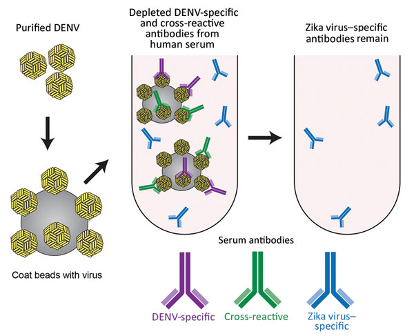 Schematic of the method used for depletion of human serum with DENV antigen to distinguish Zika virus–specific from cross-reactive flavivirus antibodies. Serum was incubated with DENV-1 and DENV-2 coated on polystyrene beads, enabling removal of DENV-specific and cross-reactive antibodies. DENV, dengue virus.
