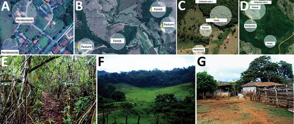 Location of collection sites and biomes represented in each, Minas Gerais state, Brazil. A) Collection site 1 in Serro. B) Collection site 2 in Serro. C) Peridomicile collection areas in Rio Pomba. D) Forest and pasture collection areas in Rio Pomba. E) Example of a forest area where animals were captured. F) Example of peridomicile area. G) Example of pasture area. In panels A–D, circles represent areas where transects for capture were demarcated. Sources: panels A,–D, Google Maps, modified by