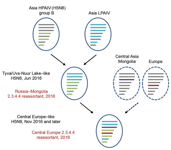 Proposed reassortment events leading to the novel central Europe HPAIV A(H5N8) clade 2.3.4.4 virus. The Russia–Mongolia reassortant clade 2.3.4.4 H5N8 virus acquired 2 new segments (polymerase acidic protein and nucleoprotein), leading to the novel central Europe clade 2.3.4.4 H5N8 in 2016. Similar segment origins are marked by similar colors. Dashed lines indicate putative precursors. HPAIV, highly pathogenic avian influenza virus; LPAIV, low pathogenicity avian influenza virus.