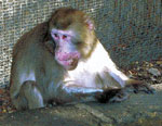 Thumbnail of Crater-shaped skin lesions on face of Japanese macaque (Macaca fuscata), Italy, 2003.