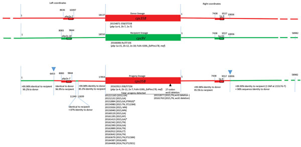 Diagrammatic representation of cps loci and adjacent regions from donor, recipient and progeny strains depicting serotype switch event for pneumococcal isolates, United States, 2015–2016. Red and green lines in progeny indicate regions of sequence identity or near identity (<2 single-nucleotide polymorphisms/10,000 bp) to the above corresponding donor and recipient sequences, respectively. Rectangles indicate relative locations of PBP gene types for pbp2x and pbp1a. Below each cps locus, a re