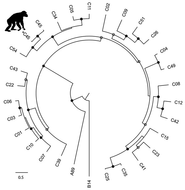 Phylogenetic tree of rhinovirus C variants. The tree was constructed from a codon-based alignment (6,234 positions) of the new chimpanzee-derived sequence identified in the Kanyawara chimpanzee community, Uganda, 2013 (indicated by the asterisk and chimpanzee silhouette), and all human-derived RV-C complete polyprotein gene sequences available in GenBank as of December 18, 2016, with rhinoviruses A and B from the RefSeq database included as outgroups. We created alignments using the MAFFT algori