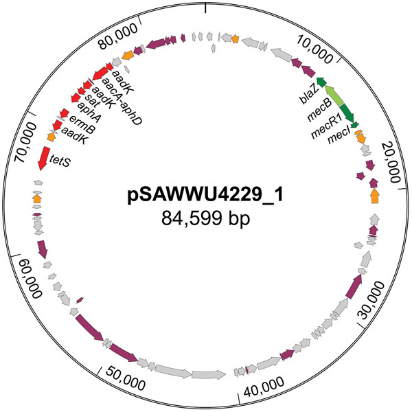 Circular map of the mecB-carrying plasmid pSAWWU4229_1 from Staphylococcus aureus isolate UKM4229, obtained from a 67-year-old cardiology inpatient who had no signs of infection, Münster, Germany. Arrows indicate annotated genes: the mec-complex is noted in green, antibiotic-resistance genes in red, transposase/integrase genes in orange, other genes with known function in violet, and other genes with unknown function in gray.