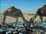 Thumbnail of Dromedary camels gathering and scavenging the waste dumps in the desert near an oil extraction plant. (Ahead of print - Video available in finalized issue)