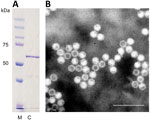 Thumbnail of A) Identification of cutavirus from human serum samples. A) Sodium dodecyl sulfate–polyacrylamide gel electrophoresis of virus capsid protein 2. Lane M, protein size marker; lane C, cutavirus. B) Electron micrograph of cutavirus virus-like particles. Scale bar indicates 100 nm.