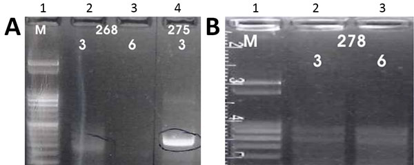 A) Results of K26 PCR assay (13) on patient samples identified as belonging to the Leishmania infantum/donovani complex in study of leishmaniasis control programs in northern Syria. Lane 1, step marker; lanes 2 and 3, L. infantum strain 268 with 3 and 6 μL of DNA, respectively; lane 4, L. donovani strain 275 with 3 μL of DNA. B) Results of K26 PCR assay (13) on patient samples identified as belonging to the Leishmania infantum/donovani complex in study of leishmaniasis control programs in northe