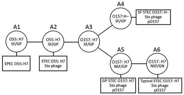 Schematic illustrating model of the stepwise evolution of STEC O157. The proposed stepwise evolution model of STEC O157 was schematically illustrated according to previous reports (8,9). Clonal complexes (CCs) A1 to A6 are indicated, along with phenotypic changes, antigen shifts, and acquisitions of Stx phages and pO157. Squares indicate contemporary circulating STEC O157 clones. EPEC, enteropathogenic E. coli; GP, β-glucuronidase–positive; NSF, non–sorbitol-fermenting; SF, sorbitol-fermenting;