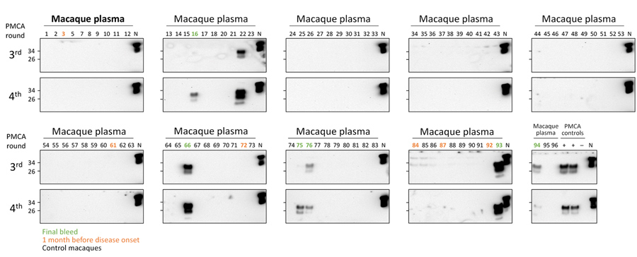 PMCA analysis of deidentified plasma samples from macaques infected with macaque-adapted vCJD and control macaques. Plasma samples from 2 infected (M1 and M3) and 28 control macaques were sarkosyl precipitated and analyzed by 4 rounds of PMCA. This panel of samples included 6 plasma samples collected at the final bleed (M1, #16, #75, #76 ; M3: #66, #93, #94), 6 plasma samples collected 1 month before disease onset (M1, #72, #84, #92 ; M3: #3, #61, #87), and 81 plasma samples from control macaque