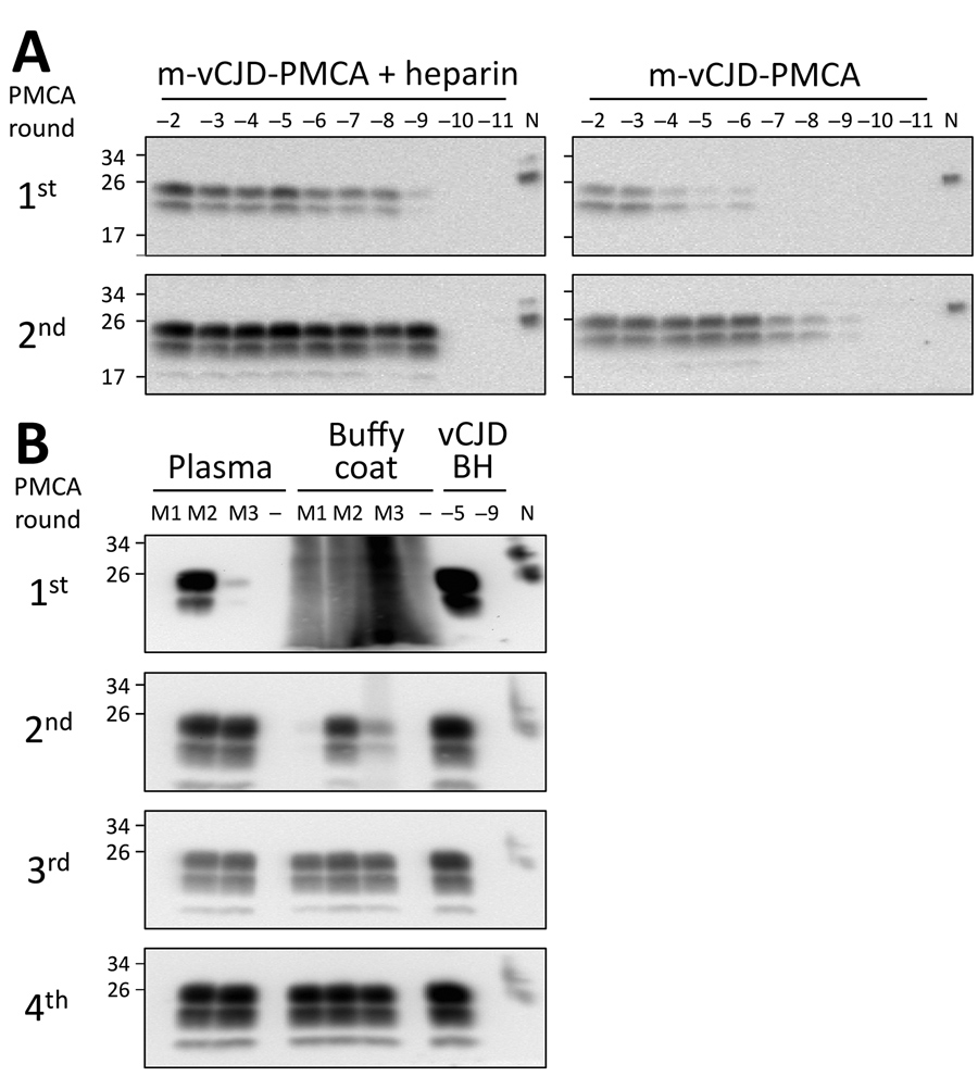 PMCA optimization for detection of macaque-adapted vCJD (m-vCJD) prions in preclinical blood samples. A) Tenfold serial dilutions of m-vCJD BH were amplified by the regular PMCA substrate (right panel) and substrate supplemented with 100 μg/mL heparin (left panel). After completion of 2 PMCA rounds, samples were digested with 50 μg/mL of PK and analyzed by Western blot. B) PL and BC (500 μL) samples collected 1 month before disease onset from 3 m-vCJD infected macaques (M1, M2, and M3) were sark