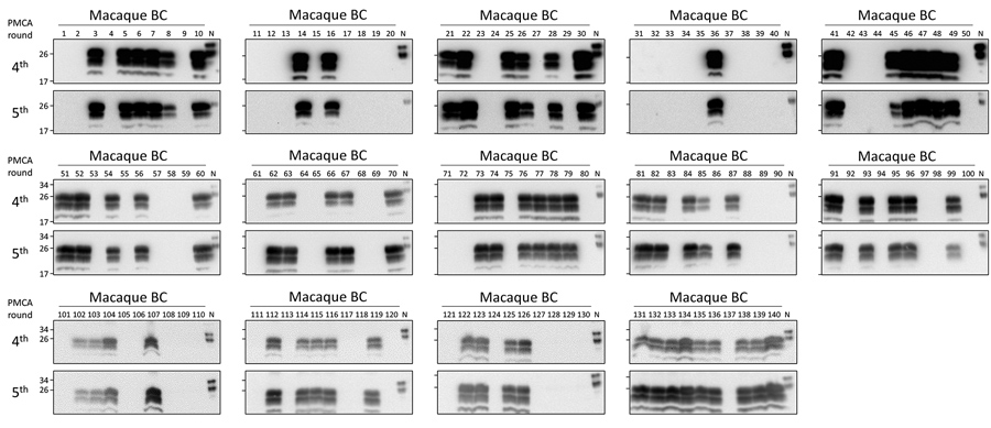 Preclinical detection of macaque-adapted vCJD prions in BC of peripherally infected macaques. A total of 140 deidentified samples (500 μL each) were sarkosyl precipitated and analyzed by 5 rounds of PMCA. After amplification, samples from the fourth and fifth rounds were digested with 50 μg/mL of PK and analyzed by Western blot. N refers to transgenic mouse normal BH without proteinase K treatment, which was used as a migration control. BH, brain homogenate; m-vCJD, macaque-adapted vCJD PMCA; pr