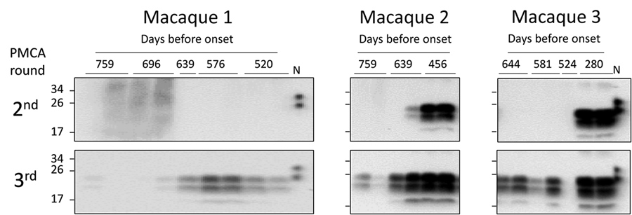Detection of m-vCJD prions by PMCA in macaques during early stages of disease. These prions were probably endogenously generated rather than present in the inoculum. The second and third rounds of the PMCA-positive preclinical buffy coat samples were digested with 50 μg/mL of proteinase K and analyzed by Western blot. Samples were arranged from the earliest preclinical on the left to the closest to disease onset on the right. N refers to transgenic mouse normal BH without proteinase K treatment,