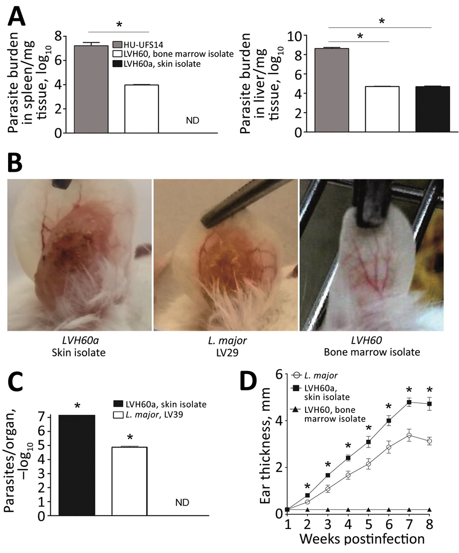 Experimental infection of BALB/c mice with LVH60 and LVH60a clinical isolates obtained from a 64-year-old man with fatal visceral leishmaniasis–like illness, Brazil. LVH60 was isolated from bone marrow, LVH60a from a skin lesion biopsy. Female BALB/c mice were infected intravenously with 107 stationary-phase promastigotes. After 4 weeks of infection, spleen and liver samples were collected. Parasite loads were determined by a limiting dilution assay of spleen and liver homogenates and are expres
