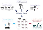 Thumbnail of Summary of study of the 2016–2017 outbreak of peste des petits ruminants among wildlife, Mongolia. PPR, peste des petits ruminants.