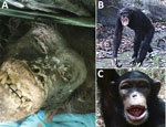 Thumbnail of Yaws-like lesions in wild chimpanzees, Guinea. A) Yaws-like lesions observed during a necropsy of an adult female chimpanzee found in the Sangaredi area, Guinea. B, C) Camera trap images showing yaws-like lesions on adult (B) and juvenile (C) chimpanzees in Haut Niger National Park, Guinea.