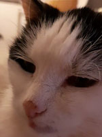 Thumbnail of Close-up of cat's face showing open-mouth breathing, suggesting severe dyspnea, nasal/nasopharyngeal obstruction, or both. The cat appears to be exhausted (March 15, 2020).