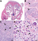 Histologic lesions associated with protothecosis caused by Prototheca cutis in a cat. A) Subgross cross-section of the nasal turbinates showing marked expansion of the nasal epithelium and overlying subcutaneous tissue. B) Epithelioid macrophages (arrows) with abundant, intracytoplasmic, gray material multifocally dissecting through subdermal collagen and musculature. Hematoxylin and eosin (H&E) stain; scale bar indicates50 μm. C) Submucosal glands (arrows), markedly displaced by myriad macrophages, neutrophils, lymphocytes, plasma cells, and algal sporangia. H&E stain; scale barindicates 50 μm. D) Algal sporangia (black arrows), which sometimes endosporulate (white arrows), producing up to 8 endospores (inset). H&E stain; scale bar indicates 10 μm and does not apply to inset.