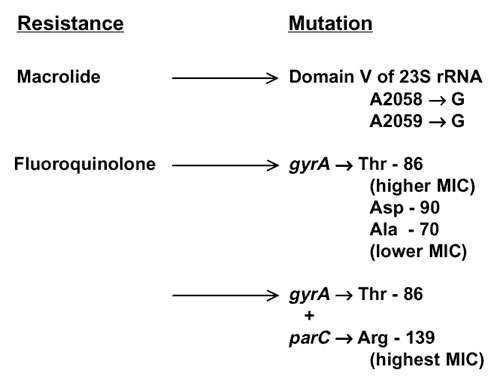 Macrolide and fluoroquinolone resistance mechanisms reported in Campylobacter species. For macrolide resistance, mutations are at either position shown (Escherichia coli coordinates) in up to all three copies of ribosomal RNA (14,15, and CA Trieber & DE Taylor, unpub. data). Fluoroquinolone resistance depends on a mutation in the quinolone resistance determining region of DNA gyrase A (GyrA). For typical MICs see text and references 16-18. The strains with highest resistance levels had mutat