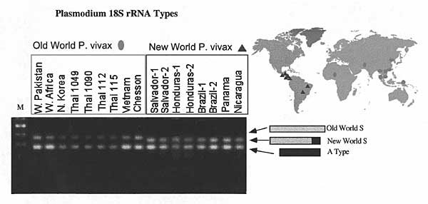 Sequences of Plasmodium vivax isolates are distinguished by variation in the 3' end of the S-type rRNA gene (10). The S-type gene is longer in Old World isolates and in P. simium. Oligonucleotide #902 (5'CAGCAAGCTGAATCGTAATTTTAA3') was used to detect type A rRNA, and #743 (5'ATCCAGATCCAATCCGACATA3') and #901 (5'GATAAGCACAAAATAGCGAAATGC3') were used to differentiate the two S-type rRNAs in membrane blot hybridization. American Type Culture Collection reference numbers not designated in the Figure