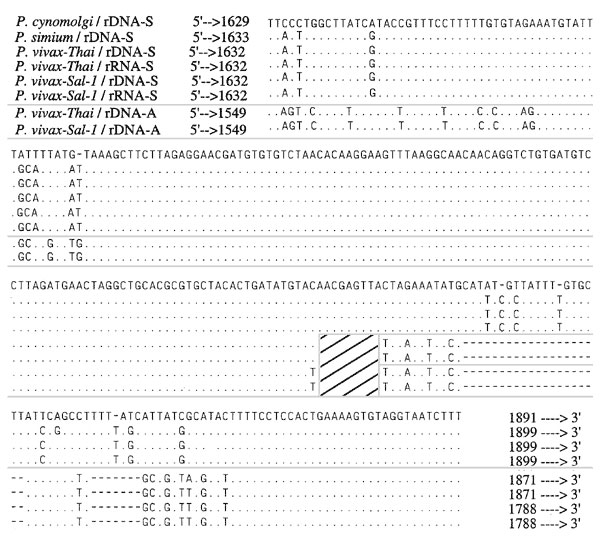 The sequence of Plasmodium vivax from the Americas is distinguished from Old World isolates by analysis of the 3' end of the S-type rRNA gene. The S-type rRNA sequences were determined from cloned amplified products of parasite DNA and RNA.