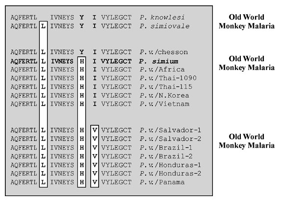 Polymorphism in the ORF 470 region of the 35-kb plastid-like DNA was determined by DNA sequence analysis after amplification of DNA from each isolate with oligonucleotide primers #1274 (5'GTAAAATTATATAAACCACC3') and #1273 (5'GCACAATTTGAACGTAC3') (11).