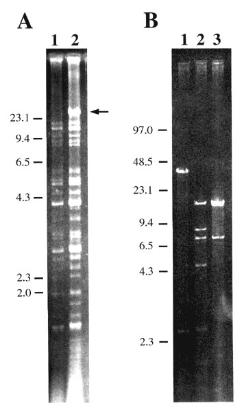 Analysis of plasmid pIP1203. A) Agarose-gel electrophoresis of EcoRV-digested plasmid DNA from representative Yersinia pestis strain 6/69 (1) and from streptomycin-resistant strain 16/95 (2). B) Pulsed-field gel electrophoresis of pIP1203 DNA extracted from Escherichia coli K802N transconjugant and digested by EcoRV (1), EcoRI+EcoRV (2), and EcoRI (3). The arrow indicates the extra large-size DNA fragment in strain 16/95. The size of the molecular weight markers in kilobases is indicated at the