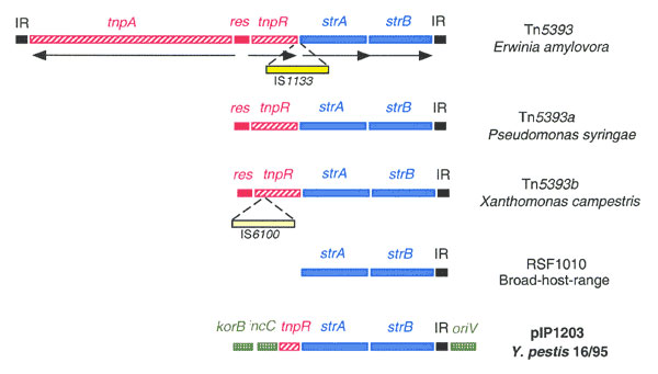 Genetic organization of the strA-strB genes. Schematic representation of the regions of Tn5393 and derivatives and of plasmids RSF1010, and pIP1203 carrying the strA and strB genes. IR, inverted repeat; tnpA, transposase; res, resolution site; tnpR, resolvase; IS1133 and IS6100, insertion sequences; korB and incC, genes homologous to those involved in regulation and partition of plasmid R751, respectively; oriV, origin of vegetative replication of R751. Direction of gene transcription is indicat