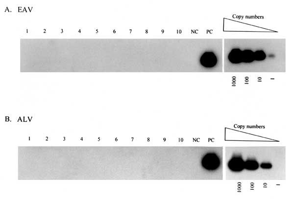 Representative results from polymerase chain reaction analysis of peripheral blood lymphocytes from measles mumps rubella (MMR) vaccine recipients for endogenous avian retrovirus (EAV) (A) and avian leukosis virus (ALV) (B) proviral DNA sequences. The detection threshold of known copy numbers of the target sequences is shown in the righthand panels. NC, negative control, uninfected human peripheral blood lymphocytes; PC, positive control, human peripheral blood lymphocytes spiked with 1,000 copi